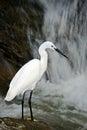 Snowy egret egretta thula white heron bird in the stone rock waterfall india Stock Photo