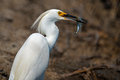 Snowy Egret With Fish Royalty Free Stock Photo