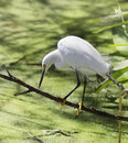 Snowy egret fishing in circle b bar reserve florida Royalty Free Stock Images