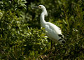 Snowy egret in foliage Stock Photos