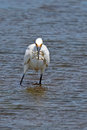 Snowy egret with a mouthful of fish Stock Photos