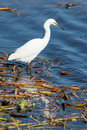 Snowy egret at myakka state park florida Stock Images