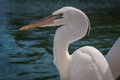 Snowy egret near key west fl Royalty Free Stock Images