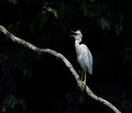 Snowy egret perched on a limb and against a dark background Royalty Free Stock Photography