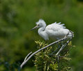 Snowy egret perched on a limb and against a green background Stock Photos