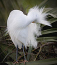 Snowy egret preening with feathers fluffy Royalty Free Stock Image
