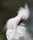 Snowy egret preening in florida Stock Images