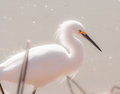 Snowy egret prowling the shoreline at the gilbert riparian preserve this is looking for its next meal the egrets plumage used to Royalty Free Stock Images