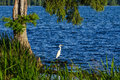 Snowy Egret, Reelfoot Lake, Tennessee Royalty Free Stock Photo