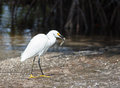 Snowy egret small fish its bill low tide ding darling wildlife preserve sanibel florida Stock Image