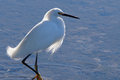 Snowy egret stalking in mating plumage stalks the shallow water hunting for its meal Stock Photography