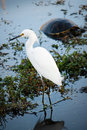 Snowy egret standing in dark water Stock Photography