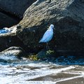 Snowy Egret Standing in Rocks on a Florida Beach Royalty Free Stock Photo