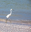 Snowy egret waling along tropical beach sanibel island florida food Stock Photo