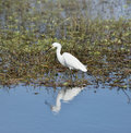 Snowy egret walking in the pond Royalty Free Stock Photos