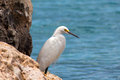 Snowy egret Royalty Free Stock Photo