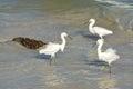 Snowy Egrets enjoying the surf. Royalty Free Stock Photo