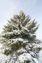 Snowy fir. Stock Photo