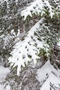 Snowy Fir-tree branches Stock Photos