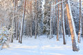 Snowy forest after blizzard Royalty Free Stock Photo