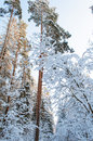 Snowy forest landscape of winter snow covered tree tops Stock Photos