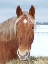 Snowy horse head shot a of a chestnut in the snow Stock Photography