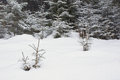 Snowy Meadow With Sprouts Of T...