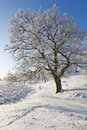 Snowy old Oak tree Royalty Free Stock Image