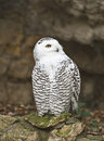 Snowy owl 2 Stock Images