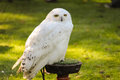 Snowy owl Royalty Free Stock Image