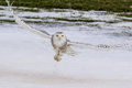 Snowy owl adult female hunting over fiedl Stock Images
