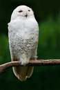 Snowy owl, bird with yellow eyes sitting in tree trunk, in the nature habitat, Sweden. White bird with dark green background.