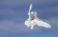 Snowy owl in flight in winter Royalty Free Stock Photo