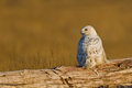 Snowy owl bubo scandiacus the is a large of the typical family strigidae бе ая сова и и по ярная сова Stock Photo