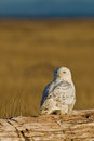 Snowy owl bubo scandiacus the is a large of the typical family strigidae бе ая сова и и по ярная сова Stock Photography