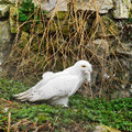 Snowy owl bubo scandiacus large of typical family strigidae Stock Image