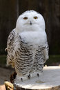 Snowy owl bubo scandiacus is a large of the typical family strigidae it was first classified in by carolus linnaeus Royalty Free Stock Photography