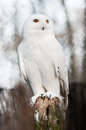 The snowy owl bubo scandiacus is a large of typical family strigidae it was first classified in by carolus linnaeus Royalty Free Stock Photos
