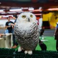 Snowy Owl - Bubo scandiacus, a large, white owl of the typical owl family. Snowy owls are native to Arctic regions