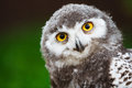 Snowy owl chick Royalty Free Stock Photo