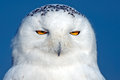 Snowy owl close up of a against blue sky Royalty Free Stock Images