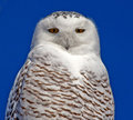 Snowy owl close up of a a large which measures – centimetres – in long with a – centimetres – in wingspan snow owls Royalty Free Stock Images