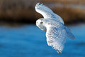 Snowy owl in flight over blue water Stock Photos