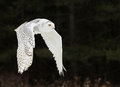 Snowy Owl Flying Royalty Free Stock Photo