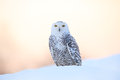 Snowy owl, Nyctea scandiaca, rare bird sitting on the snow, winter scene with snowflakes in wind, early morning scene, before Royalty Free Stock Photo