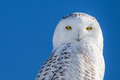 Snowy owl portrait set against blue sky of a with yellow eyes staring directly at camera and a Royalty Free Stock Photo