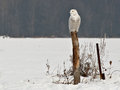 Snowy owl on a post in eastern ontario canada Royalty Free Stock Image