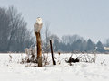 Snowy owl on a post in eastern ontario canada Stock Photography