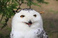 Snowy owl screaming bubo scandiacus Stock Photo