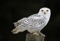 Snowy Owl Sitting Royalty Free Stock Photo